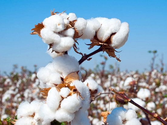Is Cotton a Flower or a Fruit2